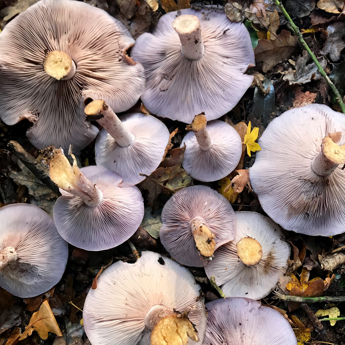 Harvested field blewits, lying upside down