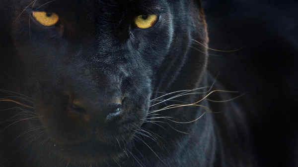 panther-schwarzer_leopard-original_ww22486-c-edwin_giesbers-naturepl.com-wwf.jpg