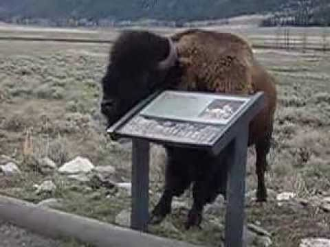 Bison in Yellowstone NP leaning against exhibit base