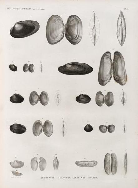 Zoologie. Coquilles. Anodontes, Mulettes, Anatines, Solens.