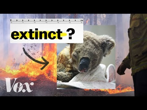 Are Australia's koalas going extinct? We asked an ecologist.