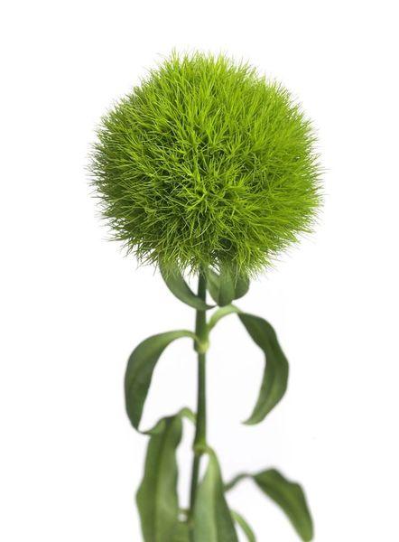 greendianthus.jpg