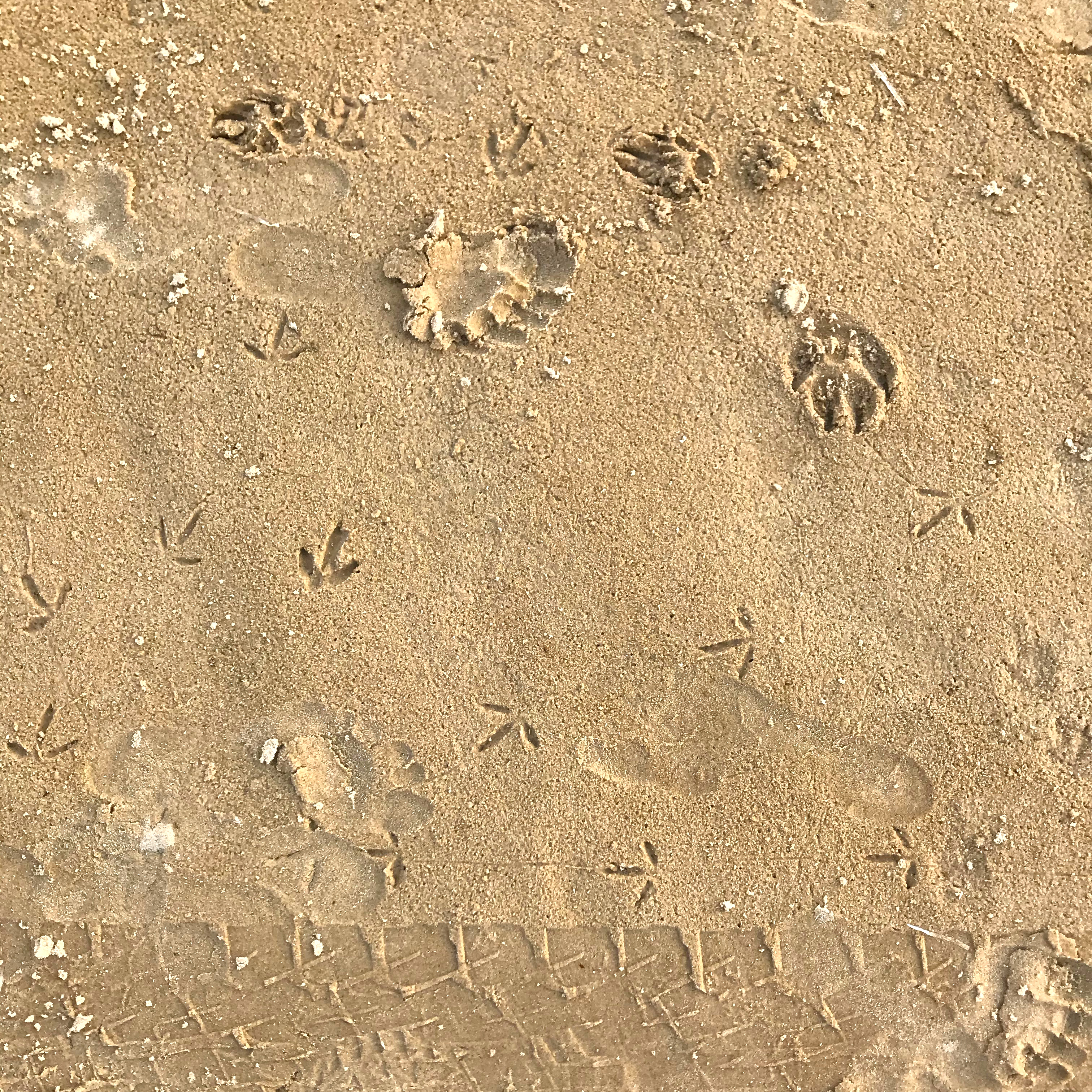 Prints in the sand left by birds, dogs, humans and cars