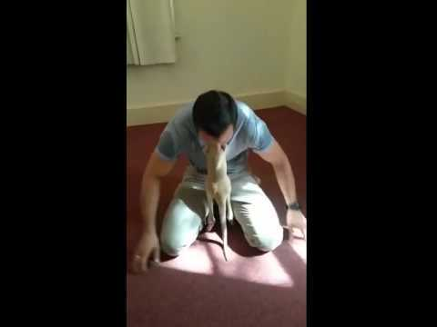 """Baby kangaroo thinks man is their mom, hops into his """"pouch"""""""