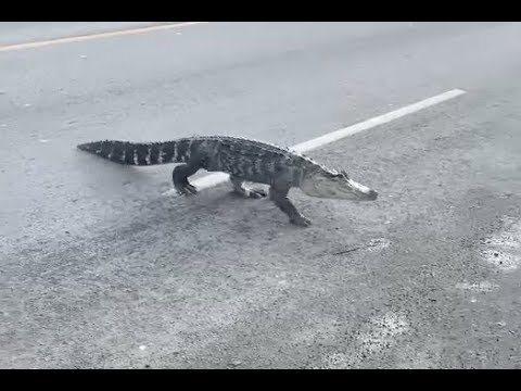Un alligator en liberté aperçu à Montréal