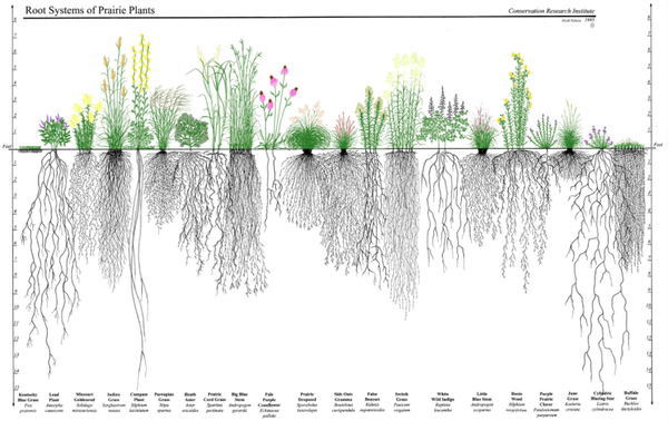 Root Systems of Prairie Plants