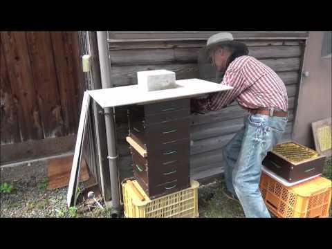 日本ミツバチ採蜜再度投稿