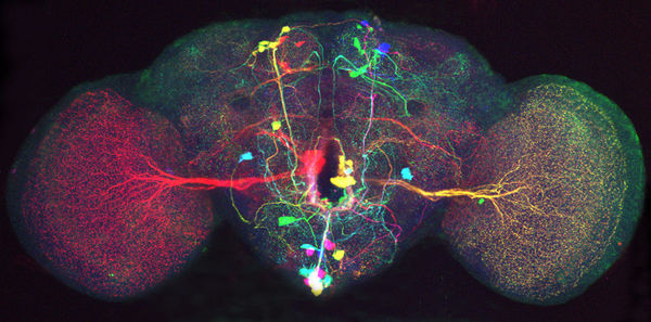 Jeff Lichtman / Brainbow