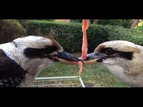 Adorable kookaburras locked in a cute fight over a piece of meat