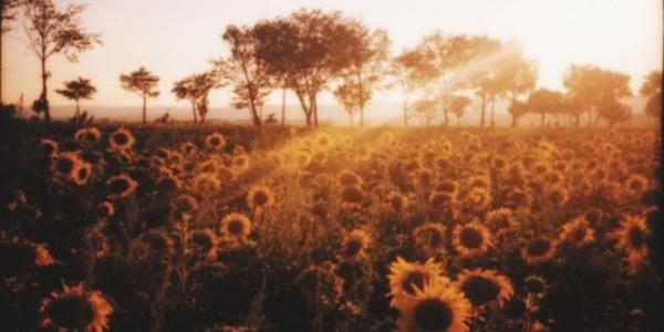 k7073cd_sunflowerfield-4-650x325.jpg
