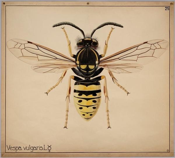 vespa-vulgaris.jpg