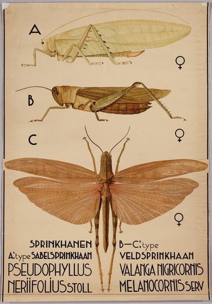 springkhanen-pseudophyllus-neriifolius....jpg
