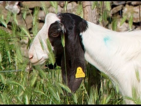 Pasta Grannies Diaries: Sicilian goats' milk ricotta