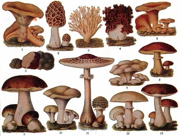botanical-educational-plate-edible-fungi.jpg?w=1000-h=