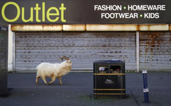 Mountain Goats Roam Through an Empty Welsh Town
