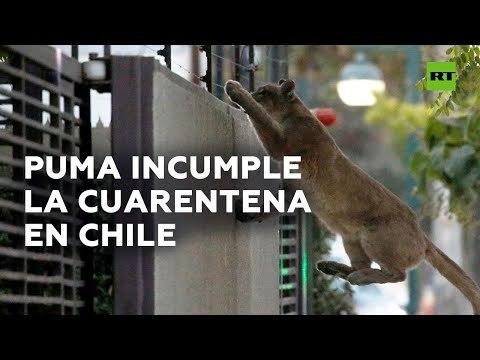 Un puma recorre las calles de Santiago en medio de la cuarentena