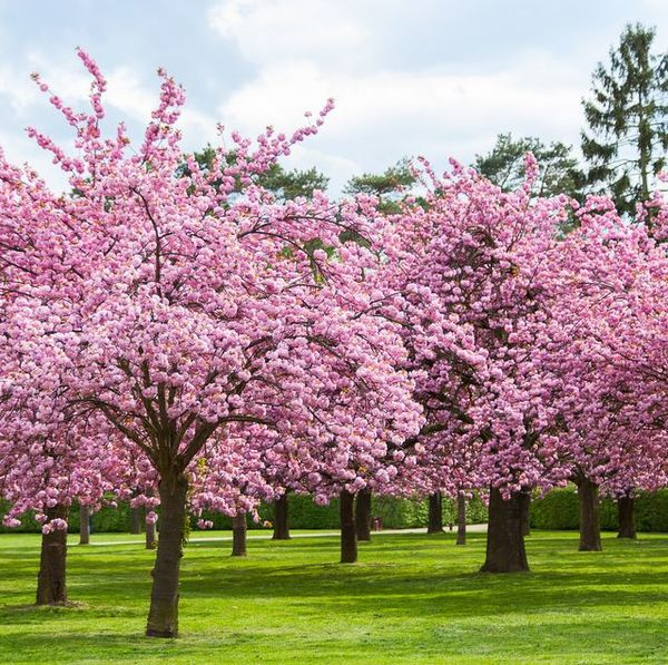 cherry-blossom-facts-1578344148.jpg?crop=0.667xw:1.00xh;0.181xw-0-resize=640: