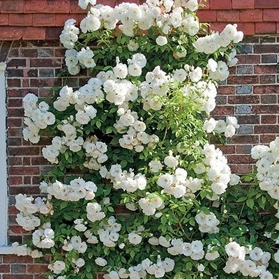 thornless-climbing-white-rose.jpg