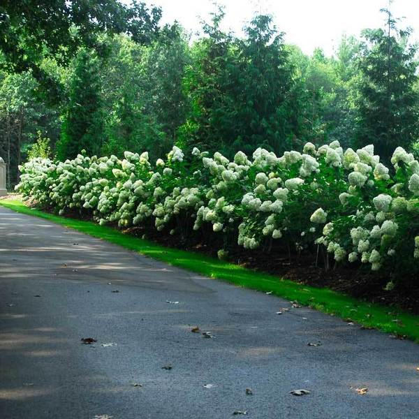 hydrangea-limelight-11.jpg