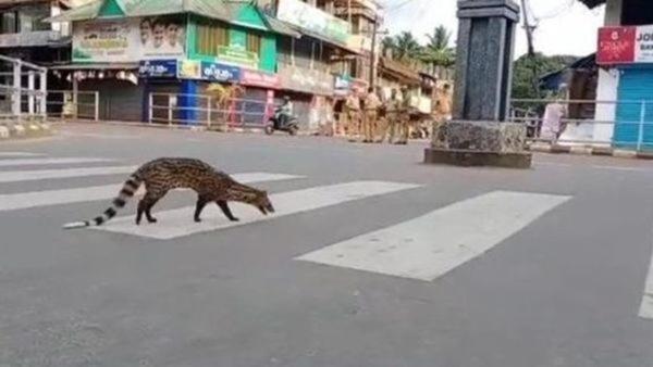 small-indian-civet.jpeg