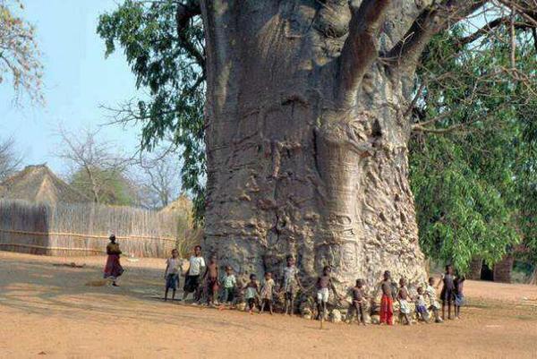 Oldest-and-healthiest-tree.jpg