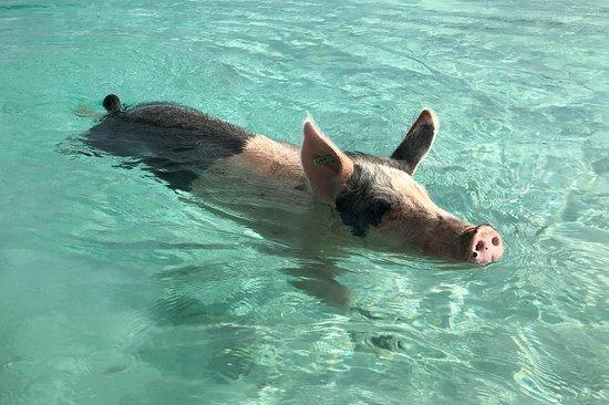 swimming-pigs.jpg