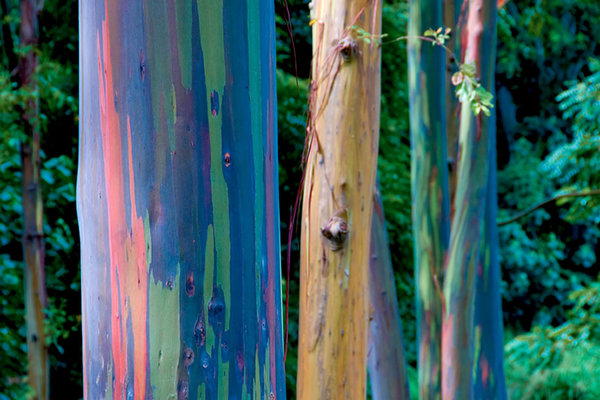 The-beauty-of-nature-rainbow-gum-forest.jpg