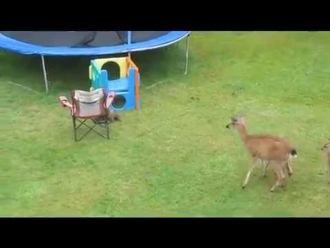 Random otter wants a belly rub from a mother deer and her fawn. Cutest thing ever! (For affordable lodging in Ucluelet BC Canada Go to www.Littlebeachresort.com)