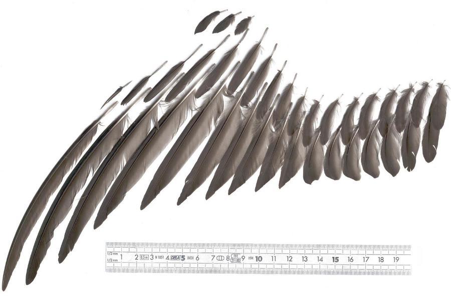 Swift_wing_feathers_Klemann011.JPG