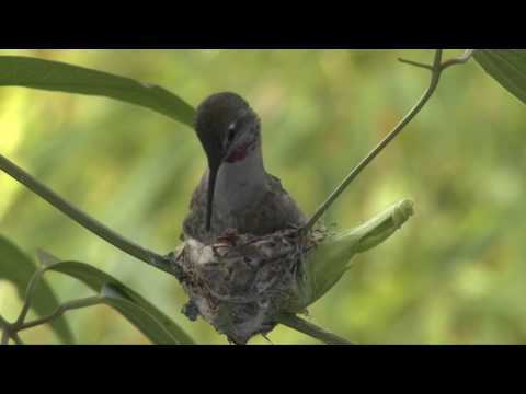 Hummingbird Building a Nest.mp4