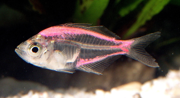 painted_indian_glassy_fish.jpg