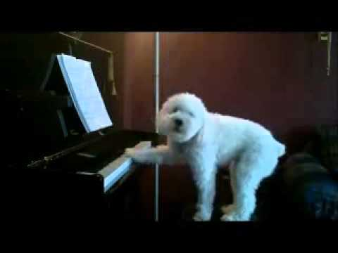 Featured on ShockingAnimals.com, this dog gets caught on camera while the nanny cam was set up and neighbors complained about noise, playing the piano and singing.