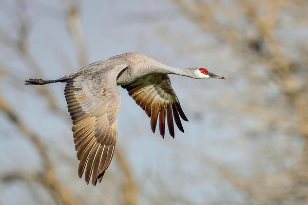 sandhill-crane-in-flight-brad-lewis.jpg