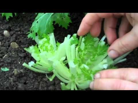 Cut-and-come-again mizuna harvesting