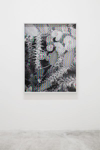 Damon Zucconi, Euphorbia Milii, 2016