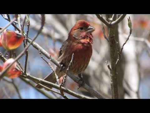 House Finches Calling: Male and Female