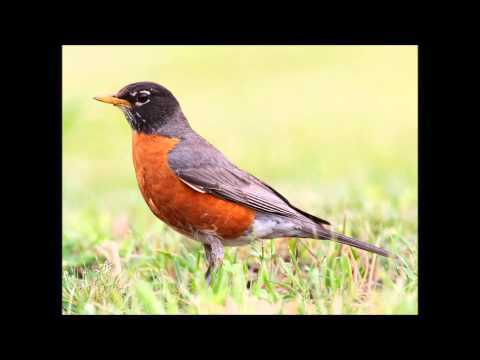 Robin bird sound - call and song