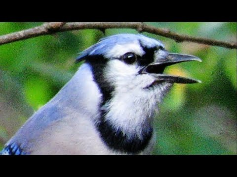 Exceptional Blue Jay Calls - Play This in Your Backyard