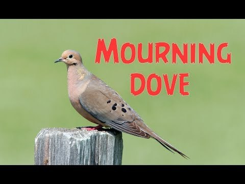 Mourning Dove - Song , Singing , Sound ( Canto )
