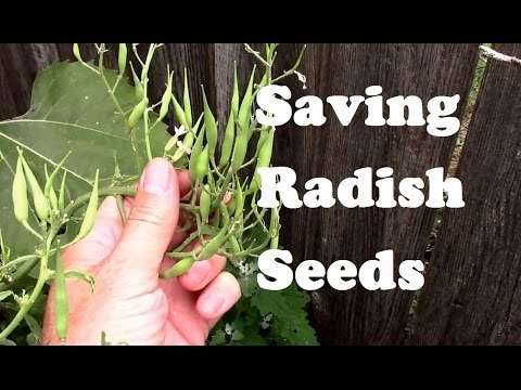 Saving Radish Seeds For Planting - From Flowering to Collecting.
