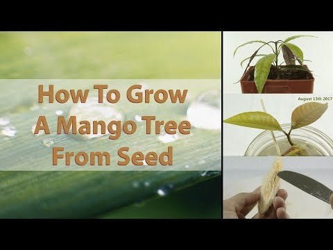 How To Grow A Mango Tree From Seed - EASY - With Results ( HD Macro ) - YouTube
