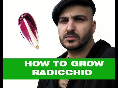 How to grow Radicchio - From sowing seed to Harvest