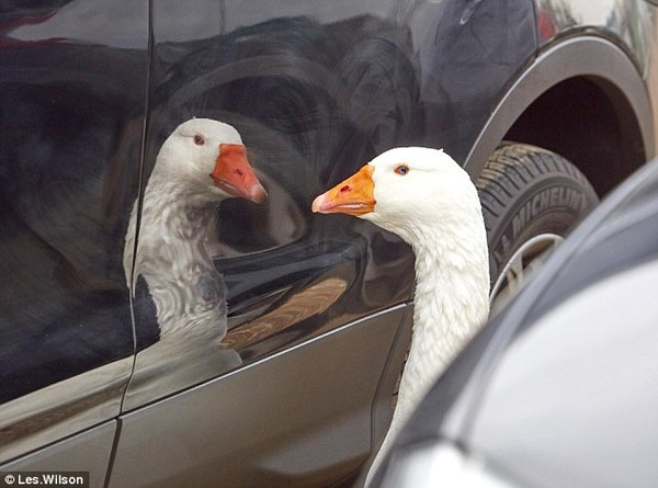 http://www.dailymail.co.uk/news/article-4021062/If-gander-old-friends-pining-goose-just-reflection-company.html