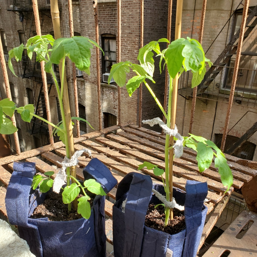 a picture of two medium-sized tomato plants in dark blue fabric pots on a fire escape