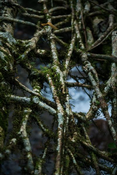 ficus elastica root bridge.png
