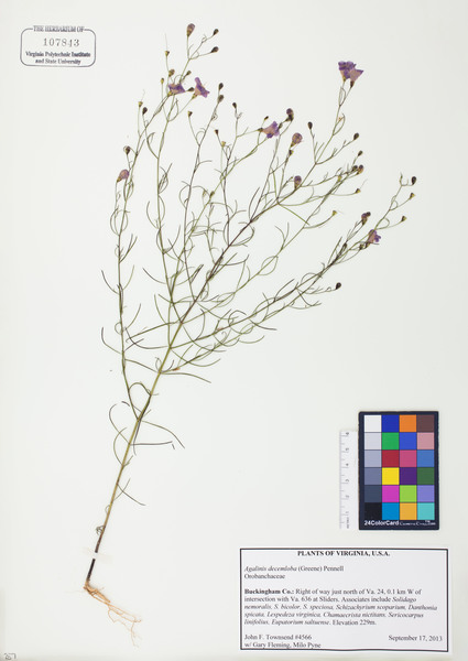 The *Agalinus decemloba*, catalogued as part of the Virginia Polytechnic Institute's herbarium collection.