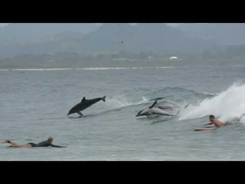 Dolphins and Surfers Sharing The Waves