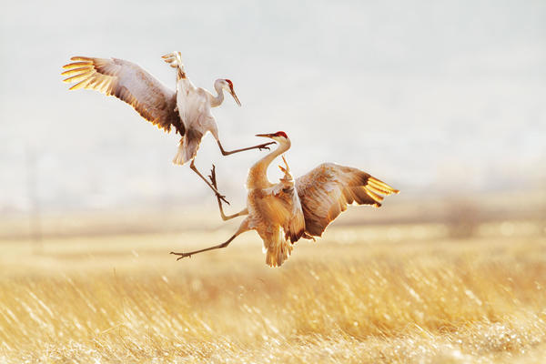 jason_savage_sandhill_crane_copy.jpg