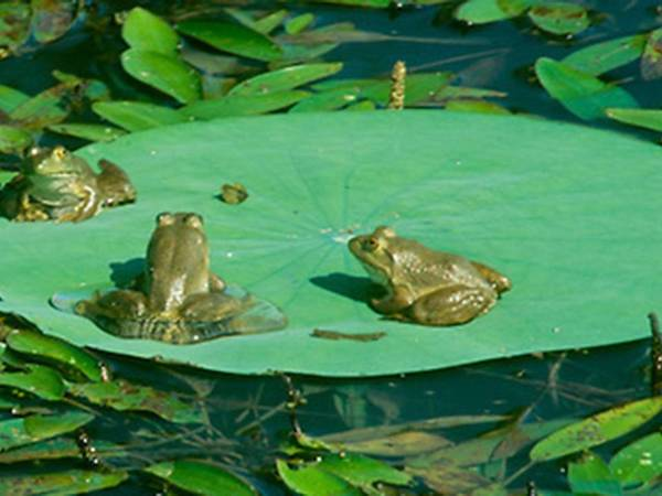 frogs-on-a-lily-pad.jpg