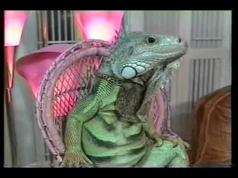 Henry Lizardlover, born March 27, 1954 as Henry Schifberg, is a herpetoculturist, writer, and photographer who has lived with as many as 60 lizards in his home. He poses his lizards in human positions on little lizard-size lounge chairs and they remain statue-still.